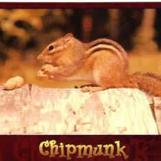 Carte postala tematica - Carte postala ilustrata FAUNA - Animale salbatice - rozatoare - chipmunk