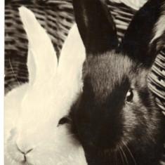 Carte postala tematica - Carte postala ilustrata FAUNA - Animale salbatice - rozatoare -iepuri