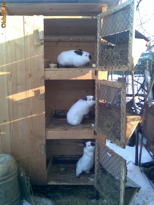 iepuri californieni foto mare