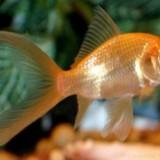 Specii pesti, Anabantidae - Pesti de acvariu - Carasi aurii