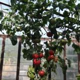 Seminte rosii - SEMINTE DE ROSIE POM - productia/2014