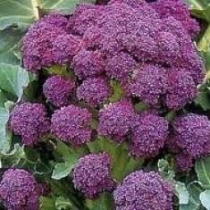 Seminte Broccoli Mov