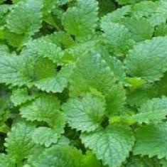 Roinita - melissa officinalis - 20 seminte