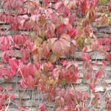Seminte de Planta agatatoare (Parthenocissus vitacea) (20 seminte)