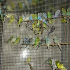 Papagali si Canari, Perusul, Vorbitor