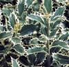"""LAUR - Ilex aquifolium"""" Silver Queen""""   –  18 lei"""