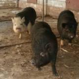 Rase porci - Vand porci vietnamezi