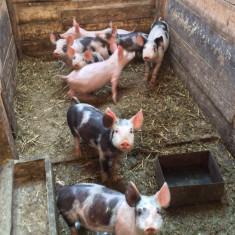 Porc - Purcei de vanzare