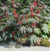 Seminte de RICIN  20 buc.   Planta ornamentala de gradina.