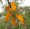 Arbusti fructiferi - Catina 1 an