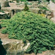 Juniperus procumbens Nana - ienupar tarator - 15 lei