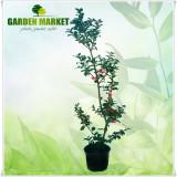 Plante ornamentale - Ilex x meserveae