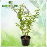 """Plante ornamentale - Deutzia scabra """"Plena"""""""