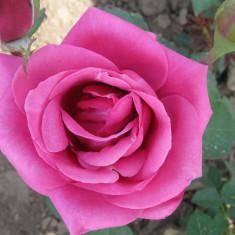 Vand butasi trandafiri si gard viu, Multicolori