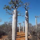 Seminte de Pachypodium geayi -  neobisnuite - 2 seminte pt semanat
