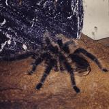 Tarantula Lasiodora Parahybana de 2 ani + terariu