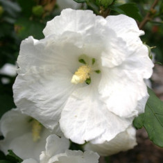 Hibiscus William R Smith – zamosita alba