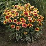 Gaillardia goblin – gailardia, floarea roata de foc