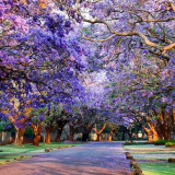 Seminte de Jacaranda Violeta -cei mai frumosi arbori ai lumii -4 seminte