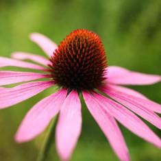 Echinacea purpurea superoferta