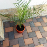 Palmieri pentru decoratiune
